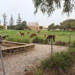 Central Greenough - Visitor Centre Alpacas