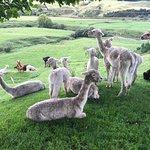 Foto de Nevalea Alpacas