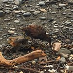 This Weka was picking through beach debris while boat was loading passengers.