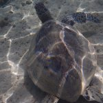 Underwater pic of turtle taken snorkeling at beach down hill from HBR