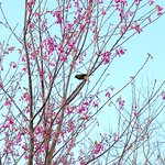 Flowering cherry with our native Kōmako (Bellbird) in Spring.