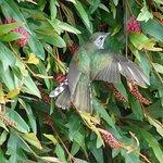 A Pīpīwharauroa (Shining Cuckoo) enjoy the Grevillea outside our kitchen.