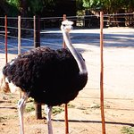 Photo de Safari Ostrich Show Farm