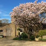 Magnolia tree in front of The Tallet, cottage sleeping 4 plus cot.