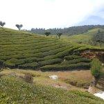 Plantation de thé dans les environs d'Ooty