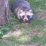 Racoon dog - not a racoon or a dog?!?!?