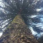 The towering Monkey Puzzle trees