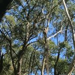 Wild koala guarantee fulfilled on the Mt Lofty Descents trail! There's a koala in the middle tre