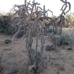 Cane cholla Cactus on the property.