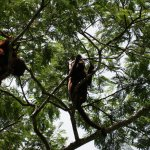 red howler monkeys above us while we were having lunch