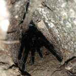 tarantula during evening hike
