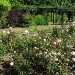 Roses and Pergola