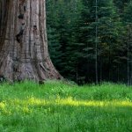between Giant Forest and Lodgepole