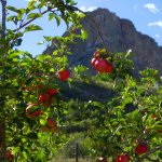 An apple orchard inside Rockledge