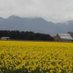 Neary daffodil fields in March or April