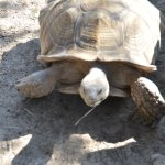 Big active tortoise