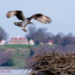 The view from the pier, looking at President George Washington's Mount Vernon Home, the Osprey n
