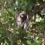 Three-toed sloth as seen from the Smithsonian Canopy Crane in Metropolitan Park