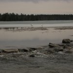 The headwaters of the Mississippi with swans in the background