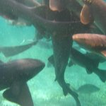Nurse sharks responding to chum at Shark Ray Alley