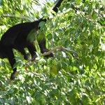 Howler Monkeys in Guiones
