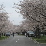 Street along the park with great view of Cherry Blossoms