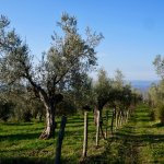 Beautiful OLD olive trees.