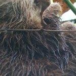 Sloth yawning, go figure..