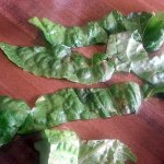 brown spotted lettuce