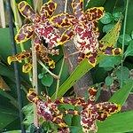 Una orquídeas mixtas muy originales