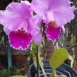 Unas orquídea rosas