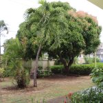 Garden view, Mango tree