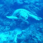 Loggerhead Turtle. Approximately 60 years old & 300 lbs.