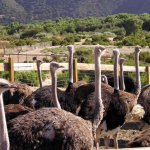 Ostriches! Who knew?