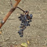 After harvest season the grapes shrink into raisins