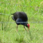 Watch the pukeko