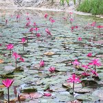 Beautiful lillies in one of the ponds