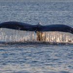 Sometimes a whale will interrupt dinner!