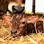 New born Jersey calf on the farm