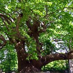 The Magnificent Plane Tree of Tsagarada, Pelion, The oldest and largest in Europe
