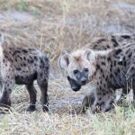 Trio Of Hyenas