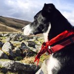 Bess; our dog exploring the moors
