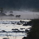 Lion crossing the Mkuze river at dawn