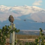 One of 8 burrowing owls on the property