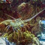 King Lobster