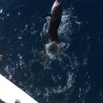 wife's sailfish