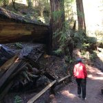 hiking next to a fallen redwood in Armstrong Redwood State Reserve
