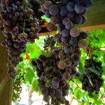 Second Vineyard