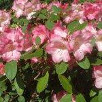 Rhododendron Lea Gardens