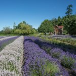 Lavender Fields and our Vacation Rental Farm House